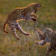 Le Serval