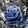 Blue winter rose
